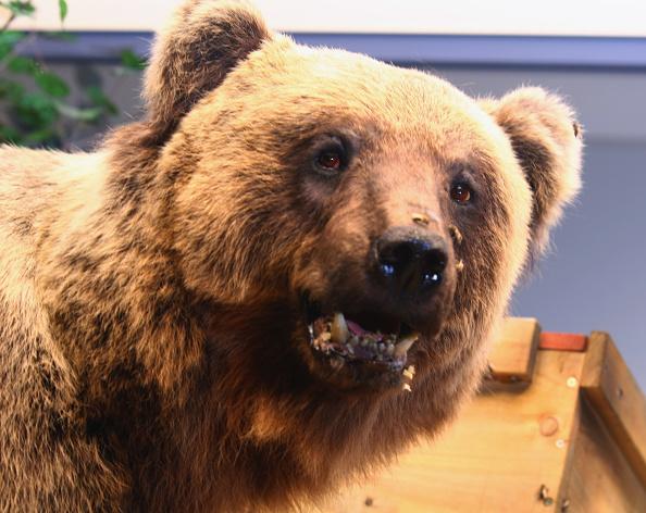 Brown Bear「Dead Brown Bear Bruno Exposed To Public」:写真・画像(2)[壁紙.com]