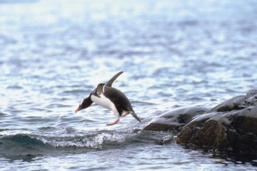 Gentoo Penguin「Penguin jumping into water」:スマホ壁紙(18)