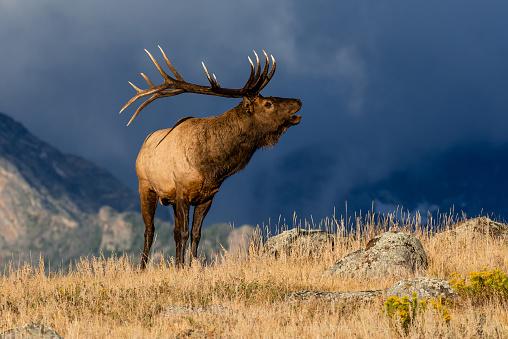 Animal Wildlife「Colorado Bull Elk」:スマホ壁紙(4)