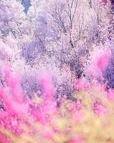 Peach「Peach and cherry blossom trees」:スマホ壁紙(5)