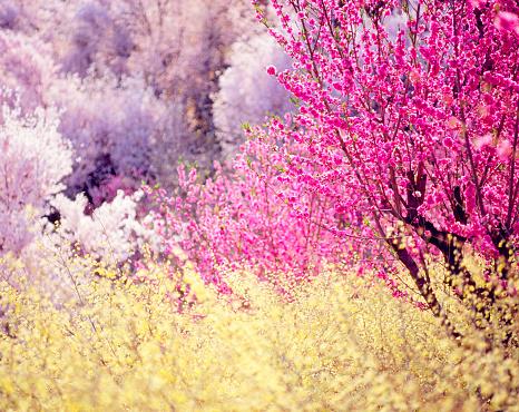 Peach「Peach and cherry blossom trees」:スマホ壁紙(3)