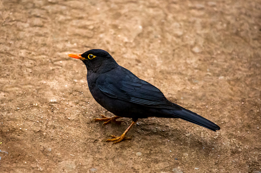 Dethan Punalur「Black bird (Turdus merula)」:スマホ壁紙(19)