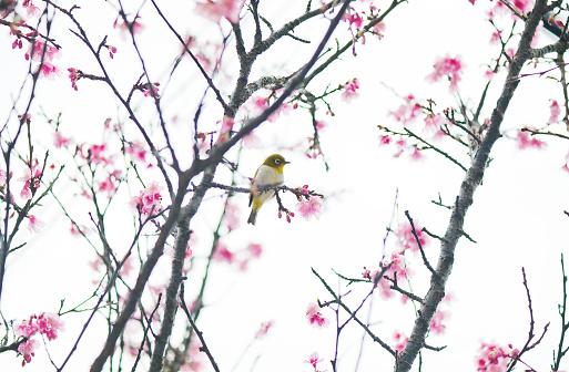 桜「Japan, Puffed up bird perching on cherry tree branch」:スマホ壁紙(17)