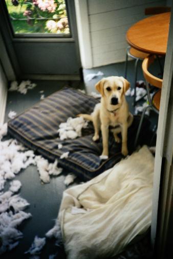 Ruined「Mischievous Yellow Labrador Retriever」:スマホ壁紙(3)