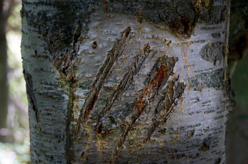 Claw「Grizzly bear claw marks on tree.」:スマホ壁紙(12)