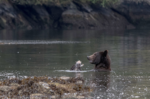 Claw「Grizzly bear eating salmon」:スマホ壁紙(14)