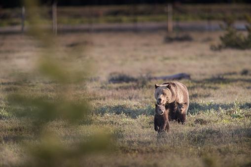 野生動物「A Grizzly Bear crossing a meadow with two cubs」:スマホ壁紙(15)