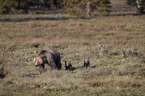野生動物「A Grizzly Bear crossing a meadow with two cubs」:スマホ壁紙(16)