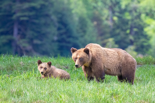 Bear Cub「Grizzly Bear Mother and Cub in a Grassy Meadow of the Great Bear Rainforest in British Columbia Canada」:スマホ壁紙(19)