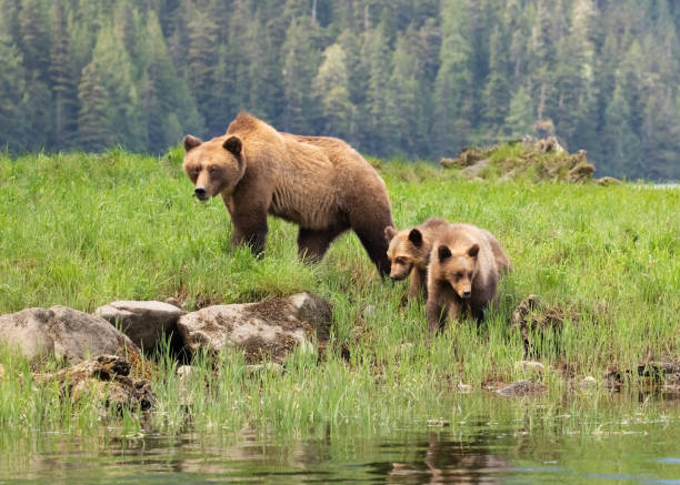 Grizzly Bear mother and cubs in a grassy meadow:スマホ壁紙(壁紙.com)