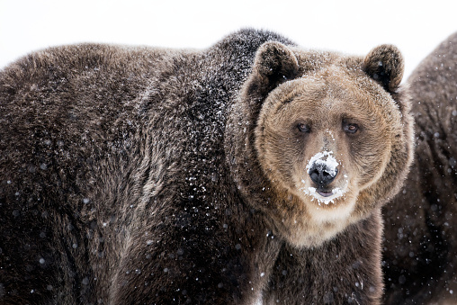 Approaching「Grizzly bear with snow on nose in winter」:スマホ壁紙(6)