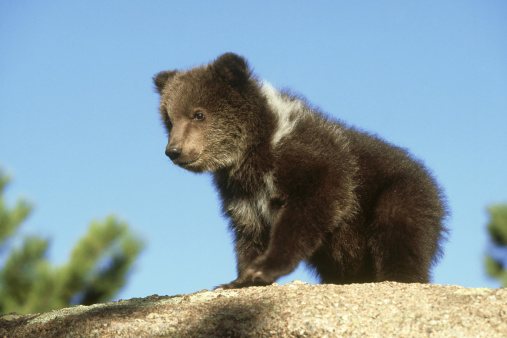 Brown Bear「grizzly bear, ursus arctos horribilis, 3 months old, colorado」:スマホ壁紙(17)