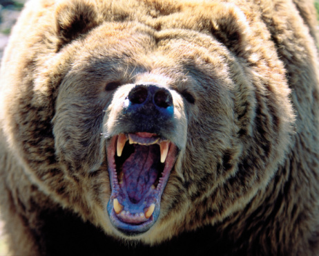 Aggression「Grizzly bear (Ursus arctos horribilis) roaring, close up」:スマホ壁紙(18)