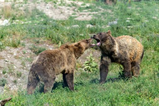 Battle「Grizzly Bear, Ursus arctos」:スマホ壁紙(7)