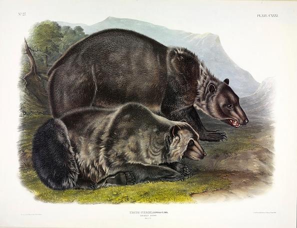 Chromolithograph「Grizzly Bear」:写真・画像(2)[壁紙.com]