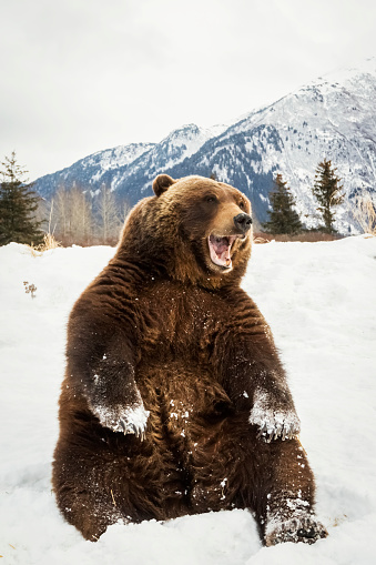 Brown Bear「Grizzly bear (ursus arctos horribilis) sitting in the snow at the Alaska Wildlife Conservation Center, South-central Alaska」:スマホ壁紙(18)