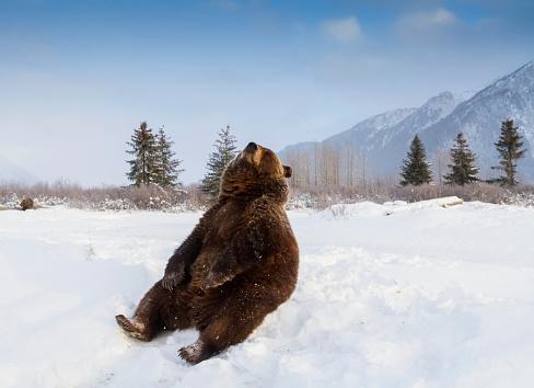 cloud「Grizzly bear (ursus arctos horribilis) sitting in the snow, captive at the Alaska Wildlife Conservation Center」:スマホ壁紙(6)