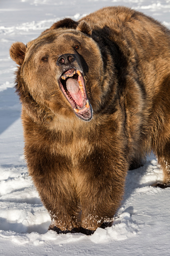 Yawning「Grizzly bear hurling to the camera.」:スマホ壁紙(18)