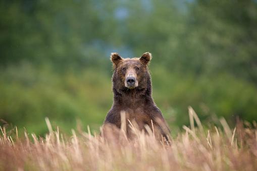 Warning Behavior「Grizzly Bear Standing Over Tall Grass at Kukak Bay」:スマホ壁紙(2)