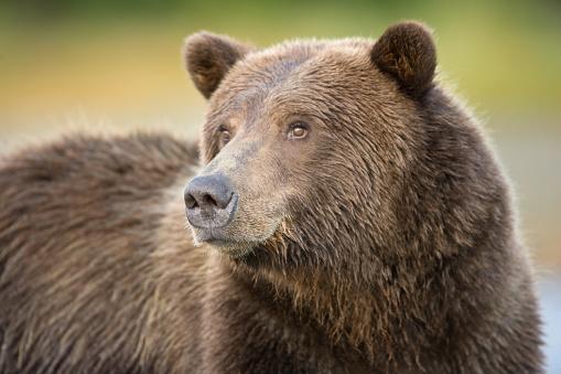 Katmai National Park「Grizzly Bear Portrait」:スマホ壁紙(19)
