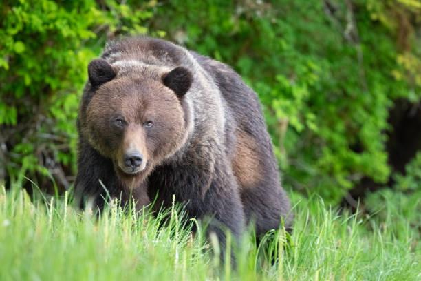 Grizzly Bear in Canada's Great Bear Rainforest:スマホ壁紙(壁紙.com)