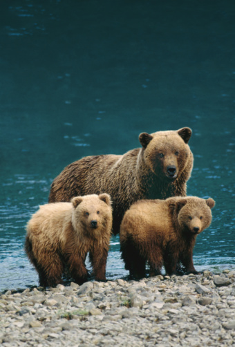 Bear Cub「Grizzly bear (Ursus arctos) with two cubs, by water's edge」:スマホ壁紙(9)