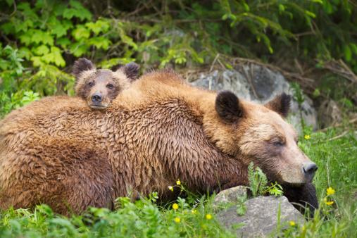 Bear Cub「Grizzly Bear (Ursus Arctos Horribilis) Cub And Sow At The Khutzeymateen Grizzly Bear Sanctuary Near Prince Rupert」:スマホ壁紙(3)