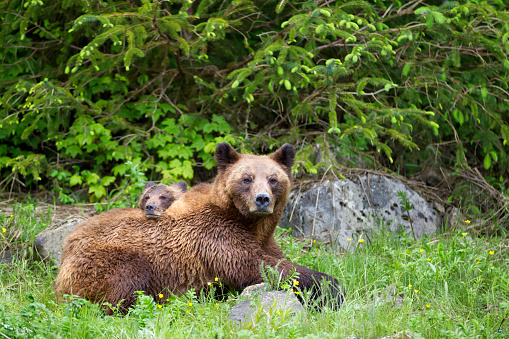 Bear Cub「Grizzly bear (ursus arctos horribilis) cub and sow at the khutzeymateen grizzly bear sanctuary near prince rupert」:スマホ壁紙(9)