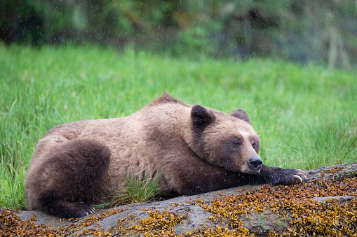 Rain「Grizzly Bear in the rain resting on a log in Canada's Great Bear Rainforest」:スマホ壁紙(16)