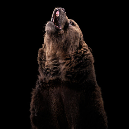 Brown Bear「Grizzly Bear」:スマホ壁紙(11)