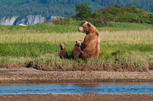 Katmai National Park「A grizzly bear (ursus arctos horribilis) and cubs next to the river, alaska, united states of america」:スマホ壁紙(10)