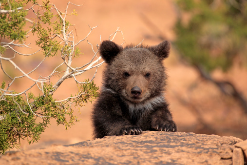 Bear Cub「Grizzly bear」:スマホ壁紙(16)