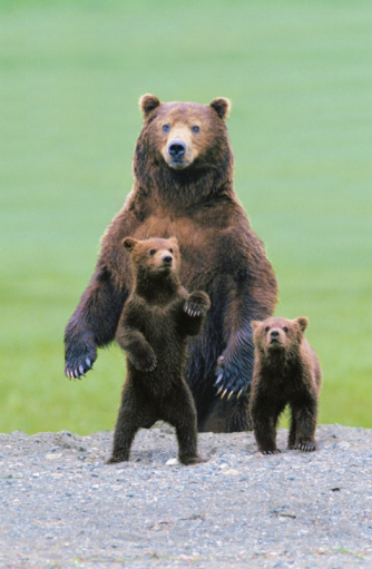 Bear Cub「Grizzly bear (Ursus arctos) protecting two cubs (Digital Composite)」:スマホ壁紙(17)