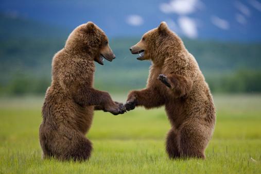 Endangered Species「Grizzly Bears, Katmai National Park, Alaska」:スマホ壁紙(0)