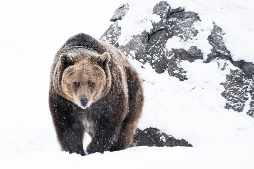 Hungry「Grizzly bear approaching in snow on winter day」:スマホ壁紙(0)