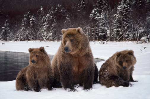 Bear Cub「Grizzly bear mother (Ursus arctos) with two cubs in early winter」:スマホ壁紙(1)