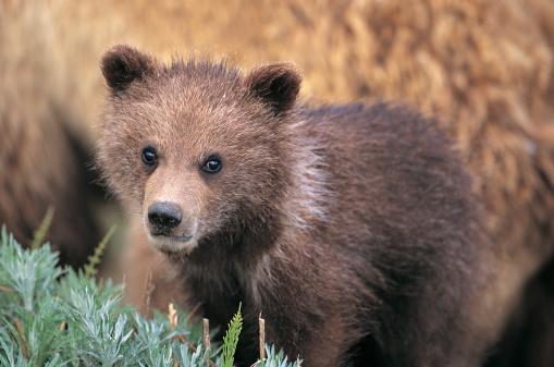 Bear Cub「Grizzly Bear Cub, Denali National Park, Alaska, Usa」:スマホ壁紙(15)
