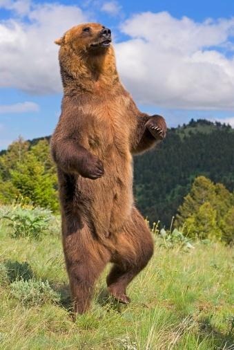 Standing「Grizzly bear standing on back legs」:スマホ壁紙(19)