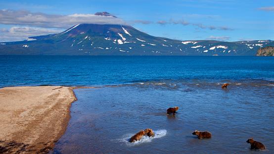 Katmai National Park「Grizzly Bears Catching Salmon」:スマホ壁紙(2)