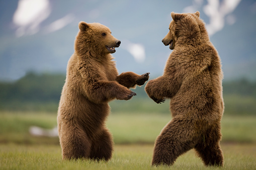 Brown Bear「Grizzly Bears Sparring at Hallo Bay in Katmai National Park」:スマホ壁紙(10)