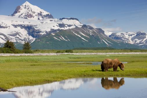 Endangered Species「Grizzly Bear, Katmai National Park, Alaska」:スマホ壁紙(10)