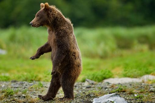 Bear Cub「Grizzly Bear, Katmai National Park, Alaska」:スマホ壁紙(6)