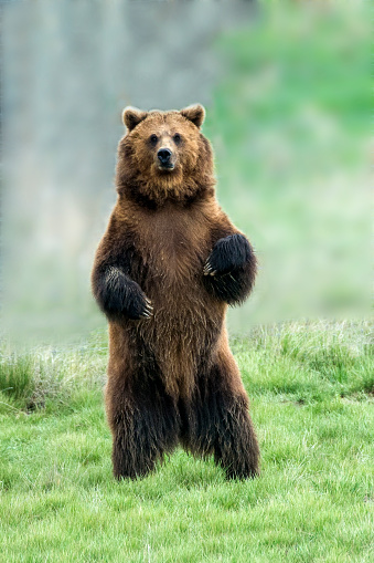 Animals Hunting「Grizzly bear」:スマホ壁紙(1)