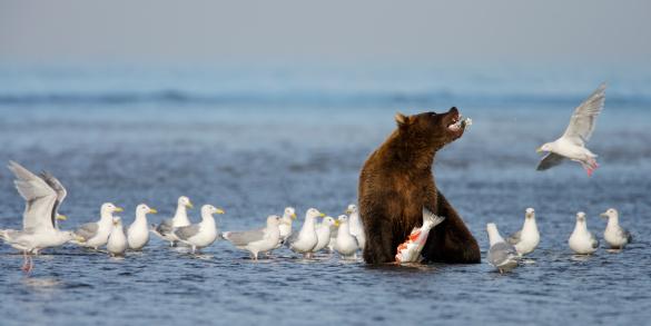 Shallow「Grizzly Bear (Ursus arctos horribilis) fishing for salmon, Lake Clark National Park, Cook Inlet, Alaska」:スマホ壁紙(13)