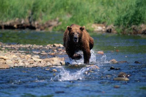 Animals Hunting「Grizzly bear (Ursus arctos horribilis) fishing for salmon」:スマホ壁紙(4)