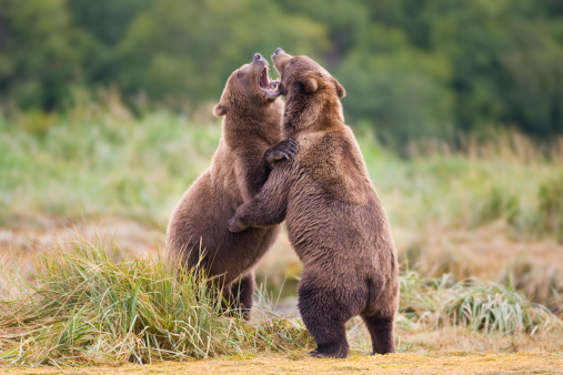 Katmai National Park「Grizzly Bears Sparring」:スマホ壁紙(6)