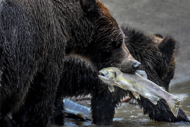 Grizzly bear with a fish in her mouth and her cub, Effingham Inlet, British Columbia, Canada:スマホ壁紙(壁紙.com)