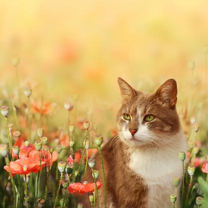 花畑「猫にポピーフィールド」:スマホ壁紙(2)