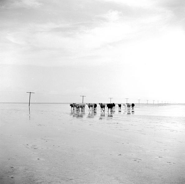 Shallow「Paddling Cattle」:写真・画像(8)[壁紙.com]