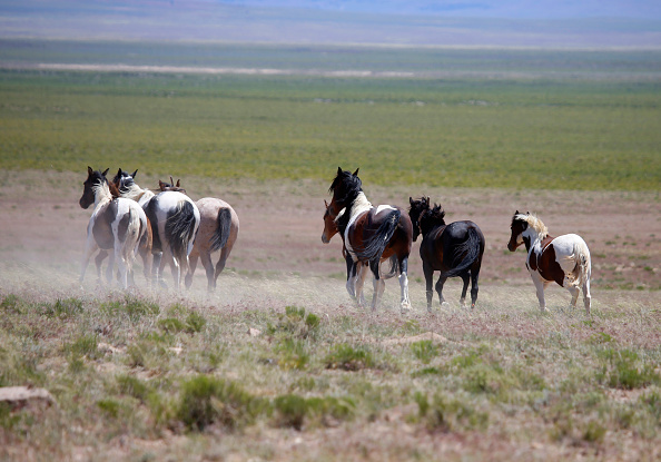 野生動物「Trump Bureau Of Land Management Budget Seeks To Cull U.S. Wild Horses」:写真・画像(9)[壁紙.com]